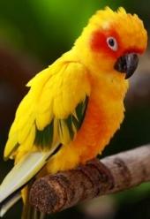 Pappagallo giallo